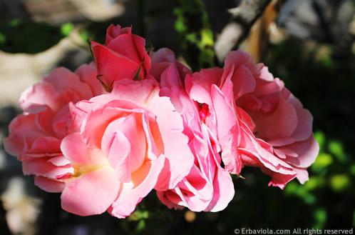 rosa, HT rosa, queen elizabeth