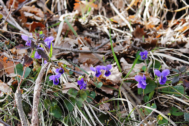 violette nel bosco - viola odorosa