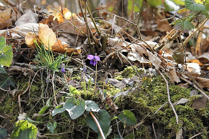 anemoni spuntano tra i primi fili d'erba